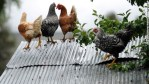 chickens sit on roof during colorado flooding