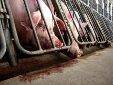Pregnant sows can spend their entire lives in pig gestation crates which prohibit them from turning around./Humane Society of United States