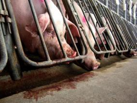 Pigs, Gestation Crates, Cruelty, Factory Farms, Humane Society
