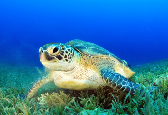 Approximately 50 percent of sea turtles around the globe ingest plastic. Photo Credit: ShutterStock