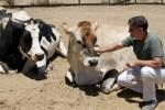 Animal Farm Sanctuary – Arthur With Cow