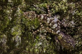 Lost World Cape Melville Australia Unveils New Species of Leaf-Tailed Gecko
