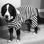 dog in black and white prisoner halloween costume