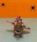 dachshund dog wearing airplane halloween costume