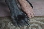 Giant George, tallest dog ever paw beside human hand