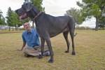 Giant George world's tallest dog