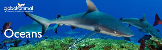 Black Tip Shark in Global Animal Stories About Oceans