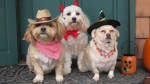 dogs in cowboy, devil, and witch pet halloween costumes