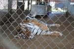 rescued tiger Kshama in cage