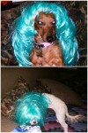 Lady Gaga and Katy Perry dog halloween costumes in blue wigs