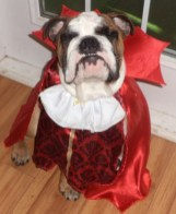 This 6-month-old English Bulldog named Albert Einstein is dressed as Vambullypire!