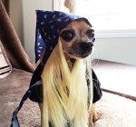 chihuahua bret michaels dog in halloween costume