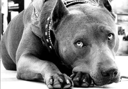 Elle's win as the 2013 American Hero Dog defies misconceptions about pit bulls. Photo Credit: Vimeo