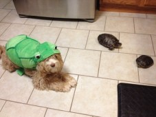 """A cockapoo, Penny, dressed up to fit in with her siblings, """"big turtle"""" and """" little turtle."""""""