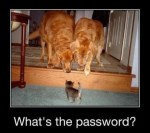 what's the password? kitten and two golden retriever dogs