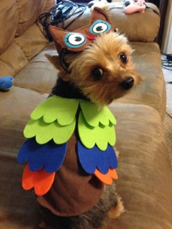 Bruschi is a 3-year-old Yorkie from Fall River, MA.