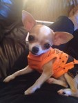 chihuahua dog in halloween pet costume