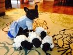 french bulldog little bo peep and sheep dogs halloween costumes