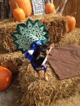 dog peacock halloween costume