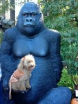 Aimes the Lion dog halloween costume with gorilla