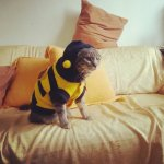 PET COSTUMES, COSTUMES FOR CATS & KITTENS; BEE COSTUME