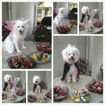 dogs as vampire and fairy halloween pet costumes