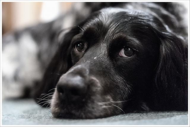 Sad black labrador