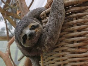 pygmy sloth, sloths, animals, endangered animals