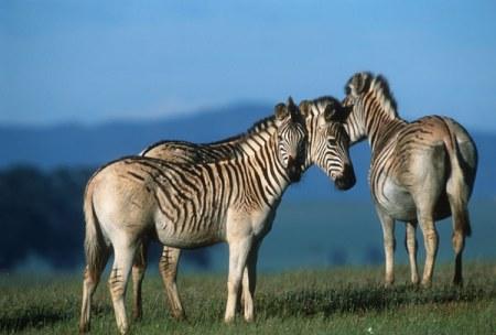 quaggas, endangered species list, extinct animals
