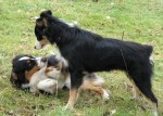 two dogs meeting – one dominant and one submissive