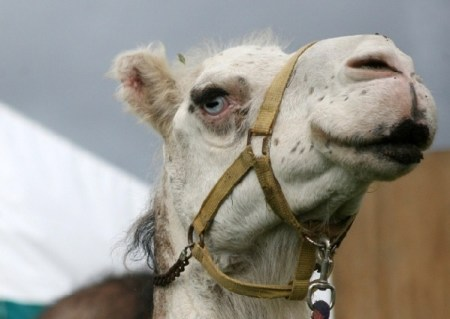 ADI and Cruelty Free Christmas are against the use of camels for entertainment. Photo Credit: shieldgazette.com