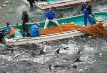 Dolphins sold to aquariums can cost up to $100,000. Photo Credit: Theguardian.com