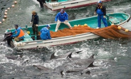 dolphins, taiji dolphin slaughter, the cove, dolphin slaughter, dolphin killings, dolphin massacre, japan, the cove documentary