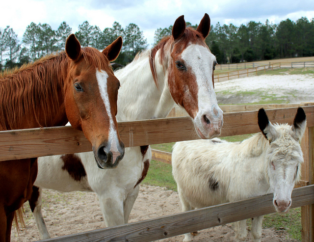 """Retirement Home for Horses"" at Mill Creek Farm is a nonprofit equine sanctuary located in Alachua, Florida that provides lifelong care for horses that have been neglected or abused or that are unwanted and destined for slaughter./Photo credit: flickr.com"
