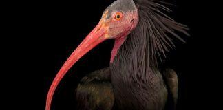 birds, endangered species, endangered animals, wildlife photography, animal photography, pictures of animals, animals