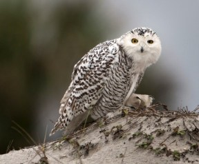 A snowy owl sits on a dune at Little Talbot Island State Park in Florida. Photo Credit: WILL DICKEY, THE FLORIDA TIMES-UNION via AP