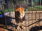 Caged Lion at Rapper Meek Mill's Grammy afterparty