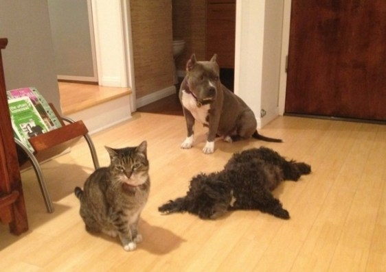 """Rescue pit bull Lulu hangs out with animal friends Omar and Stanley. At Global Animal, there is no such thing as """"fighting like cats and dogs."""""""