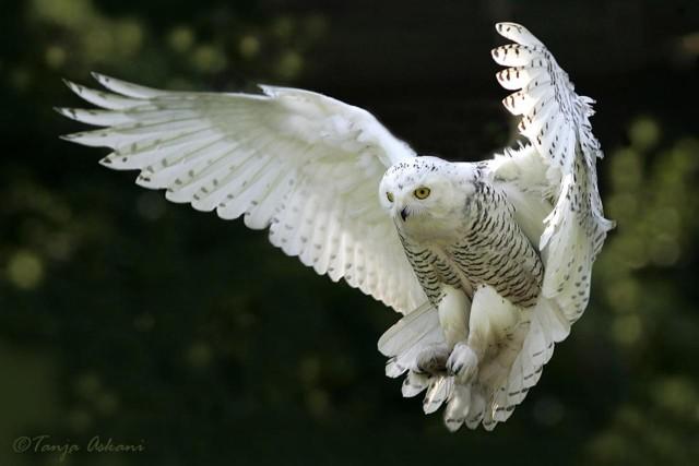 snowy owl, white owl, owls, birds, animals, rare animals, harry potter