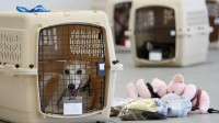 pet travel: dog in crate at airport
