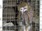 ADI South Korean Monkey Schol animal abuse, performing monkeys
