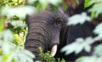 african elephant hides in a forest