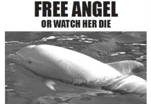 albino dolphin, new york times, animal abuse, animal cruelty, dolphins, animal advertisement, japan, taji, the cove movie