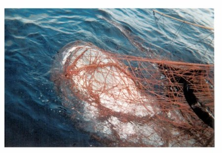 A rare megamouth shark caught by a drift gillnet vessel along the California Coast./Photo from National Marine Fisheries Service.