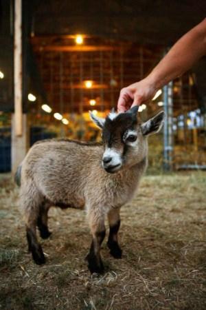 mini animals, tiny animals, baby animals, rare animals, exotic animals, goats, pictures of animals