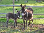 mini animals, tiny animals, baby animals, rare animals, exotic animals, donkeys, pictures of animals