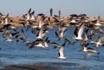 birds, oil spill, bolivar, bolivar peninsular, pictures of birds
