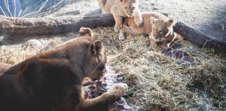 lions, lion cubs, copenhagen zoo, danish zoo, denmark, animals, pictures of animals