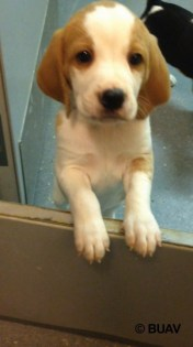 Oliver in the laboratory at MS Animal Health. Photo Credit: BUAV