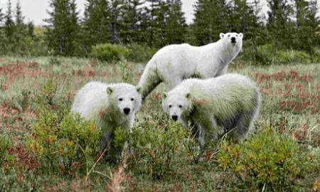 Lightning-sparked wildfires along Canada's Hudson Bay are threatening polar bears' summer habitat./Photo credit: Reuters
